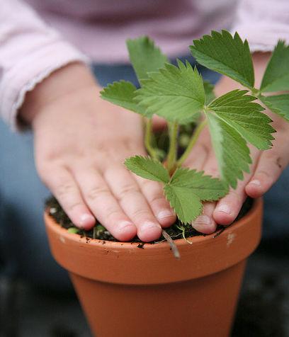 Come-piantare-le-fragole-in-vaso_su_vertical_dyn